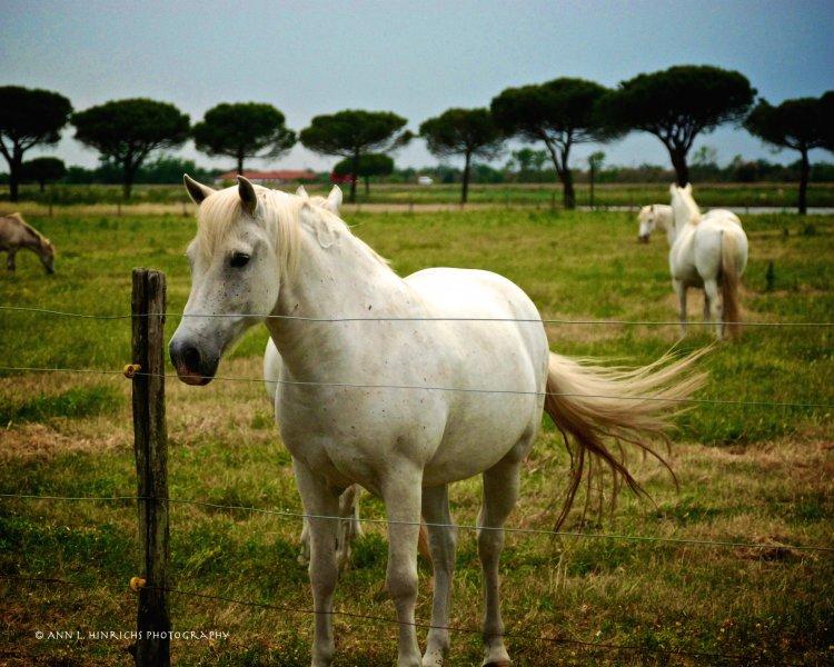 Italian Horses