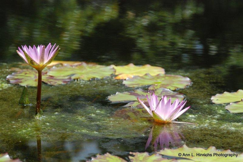 Greenbrook Gardens, SC Nature 5