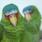 Parrots Duet 2
