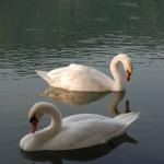Lake Garda-Swans 2