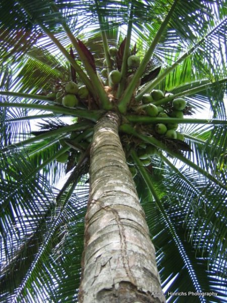 Belizean Palm