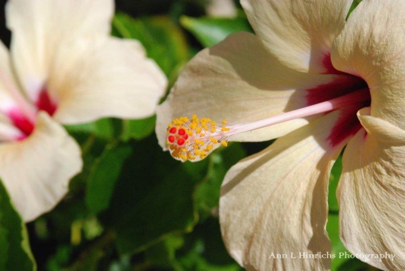 Belize Hibiscus flowers