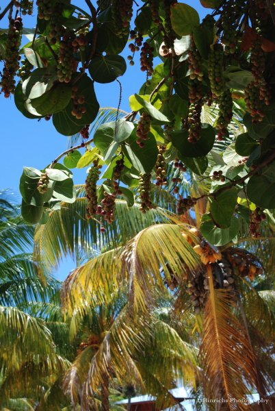 Sea grapes of Belize shores