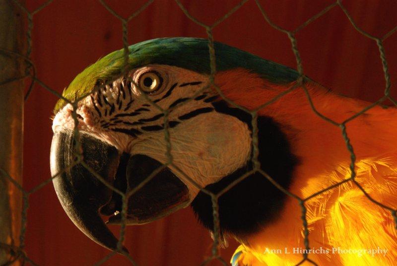 Belize Parrot