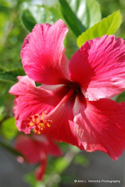 Two-Tone Hibiscus