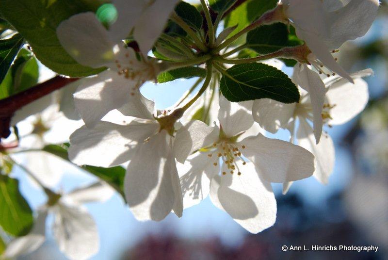 Spring Crab Apple Blossems 4