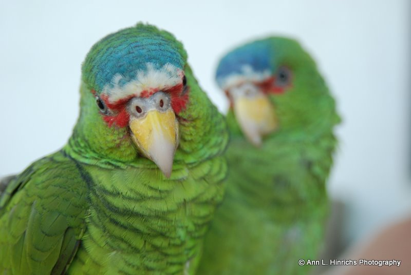 Parrot Duet 1