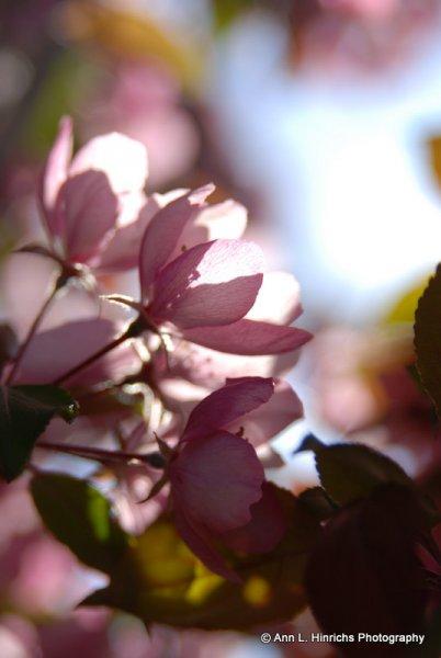 Spring Crab Apple Blossems 5