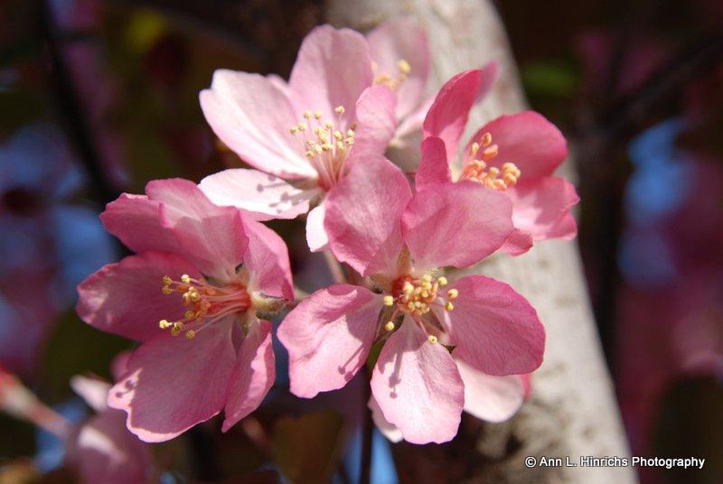 Apple Tree Blossems 1