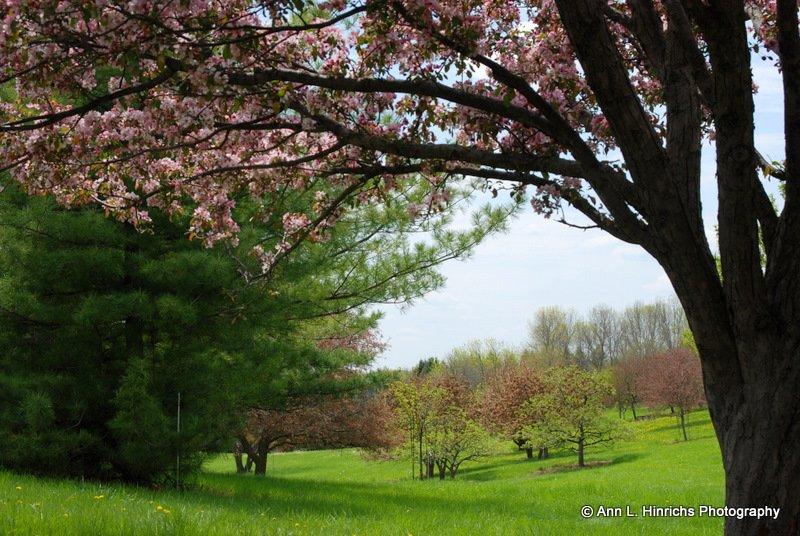 Apple Trees In Bloom 3