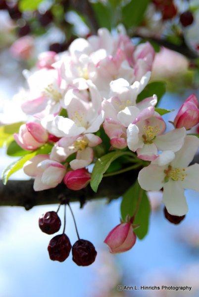 Spring Crab Apple Blossems 3