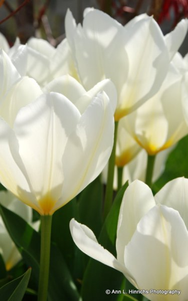 White Tulips Close Up