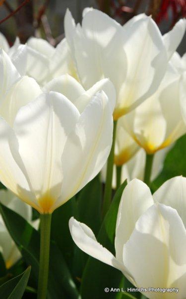 White Tulips Close Up