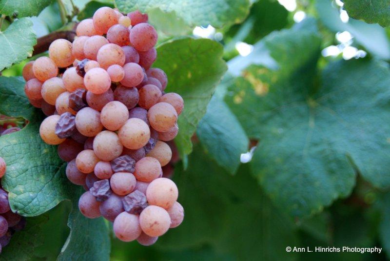 Trentino Vineyards
