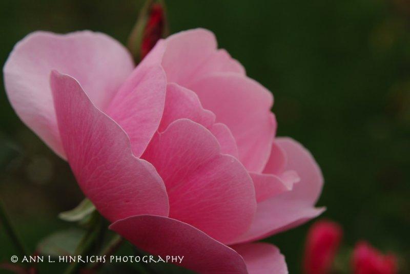 Florentine Rose Garden