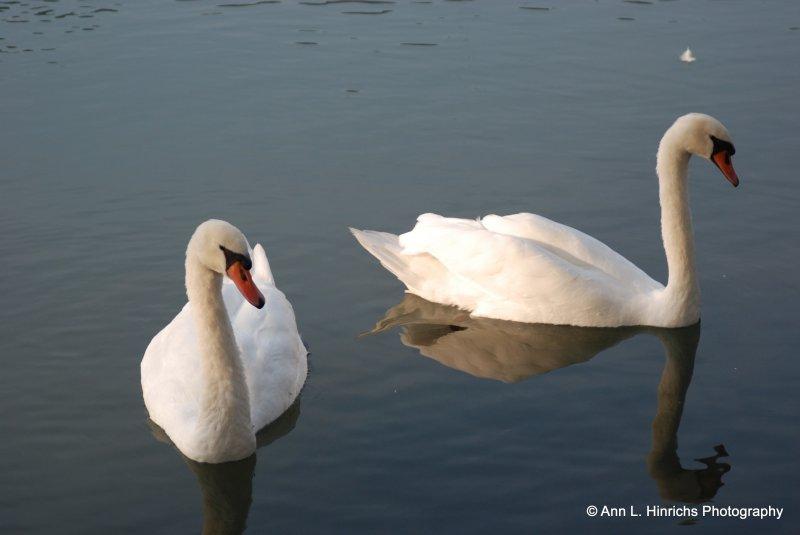 Lake Garda, Italy-Swans