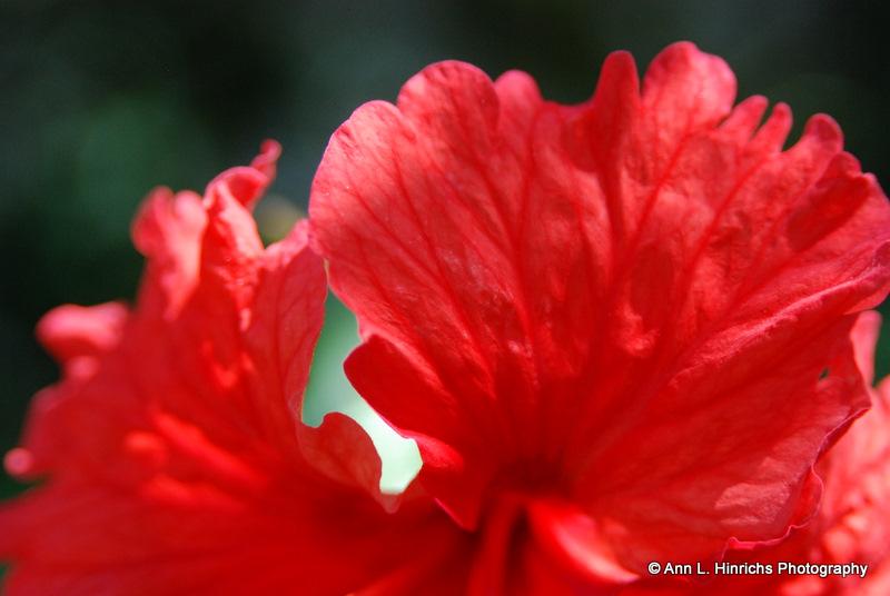 Hibiscus Belize 2012