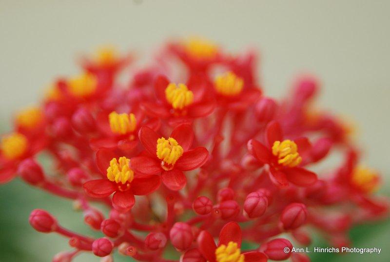 Favorite Belizean Flower