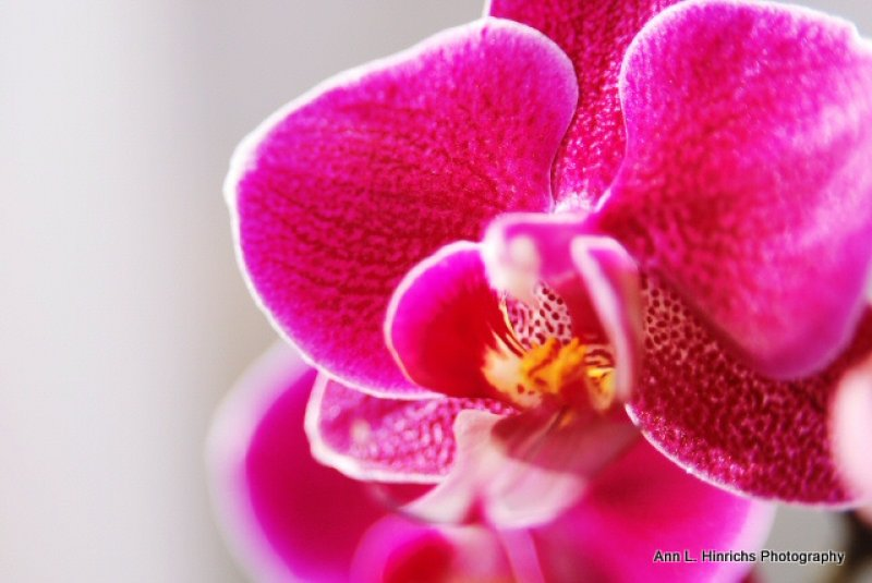 Solo Pink Orchid