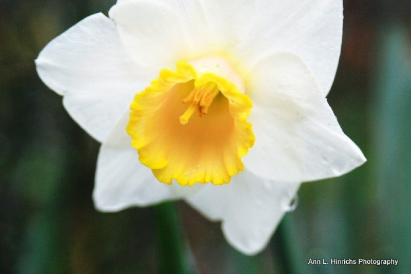 Single Daffodil