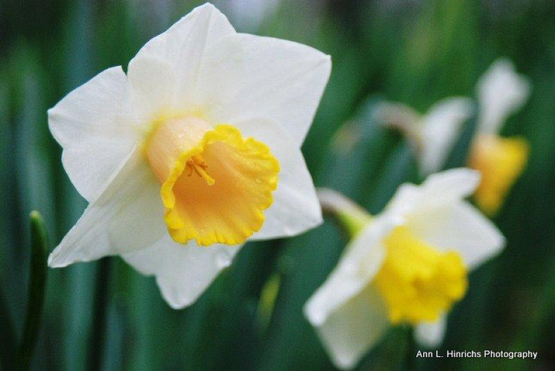 Daffodil Choir