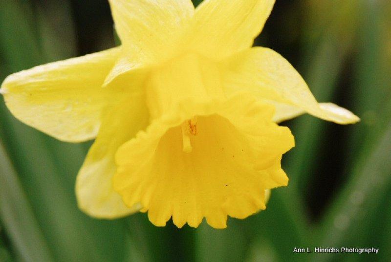 Solo Yellow Daffodil