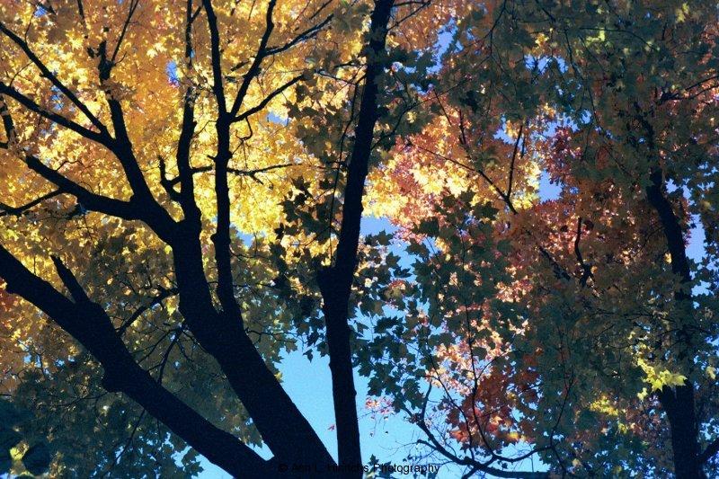 Fall Canopy 1