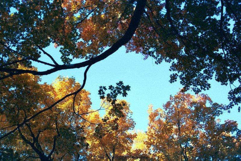 Fall Canopy 2