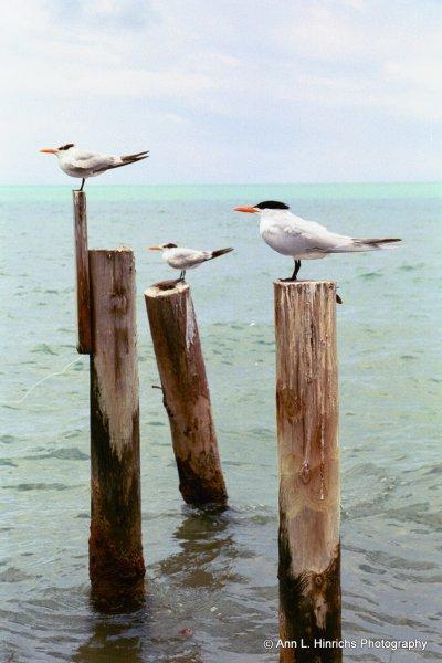 Posted Sea Gulls