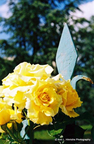 Roses Roses 1