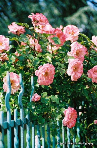 Roses Roses 2