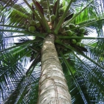 Belizean Palm