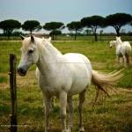 Horses in Italy