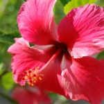 Two-Tone Hibiscus