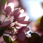 Spring Crab Apple Blossems 5