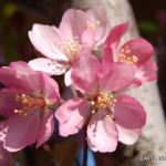 Apple Tree Blossems 1