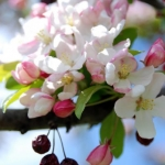 Spring Crab Apple Blossems 3