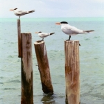 Posted Sea Gulls