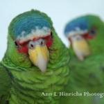 803-Parrots in Belize, Central America