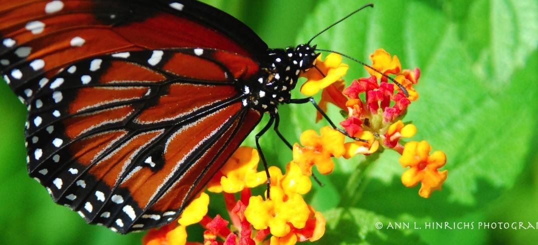SC Butterfly