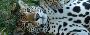 Jaguar Tika 2 - Banana Bank Lodge, Belize, C.A.